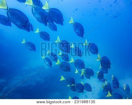 School Of Yellow Tailed Surgeonfish Prionurus Laticlavius Off The Coast Of Galapagos Islands Ecuador