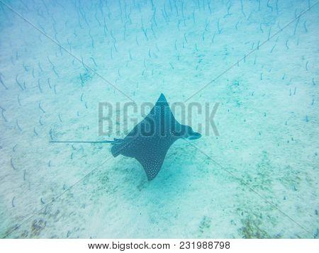 Manta Ray Diving Underwater Galapagos Islands Pacific Ocean Ecuador