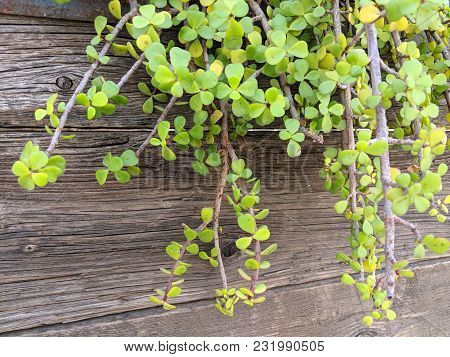 Succulent African Plant Of Portulacaria Afra Or Spekboom Elephant Bush Hanging From Weathered Wooden