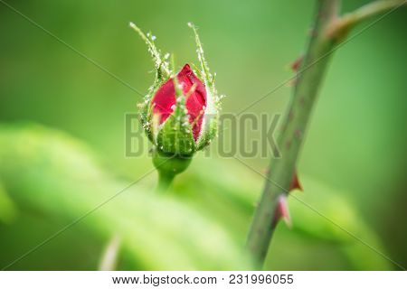 Lice On Red Rose Bud Close Up, Austria