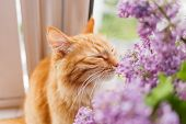 Cute ginger cat smelling a bouquet of lilac flowers. Fluffy pet frowning with pleasure. Cozy spring morning at home. poster