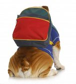 dog obedience school - english bulldog with back to viewer wearing colorful backpack on white background poster