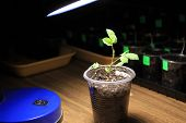 Evening supplementary lighting of young sprout of rose flower from seed in early spring by LED lamp at home. Closeup. poster