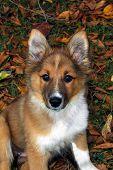 Australian Shepherd puppie relaxing in the autumn leaves poster