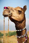 Camel at the Pushkar fair in Rajasthan, India poster