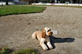A dog sitting at first base on a baseball field. poster