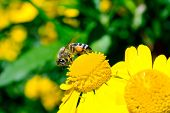 Bee collecting pollen on a yellow flower poster