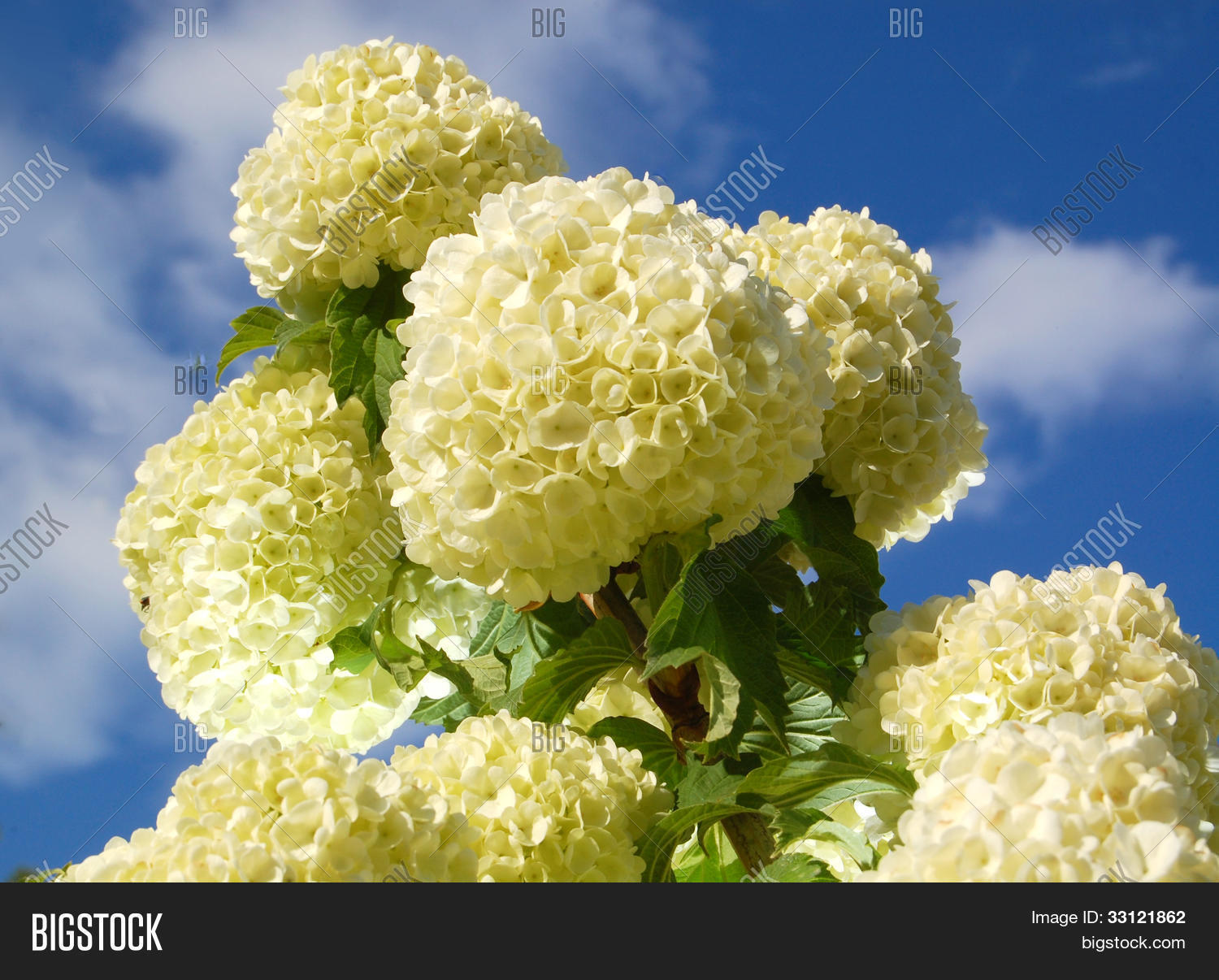 White Ball Flowers Image Photo Free Trial Bigstock