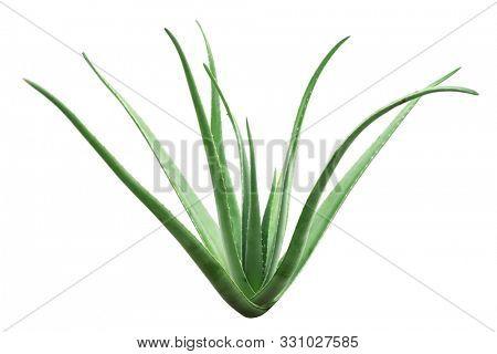 Aloe vera plant isolated on white background, full length.