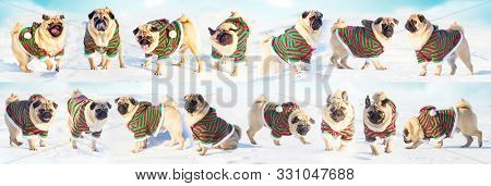 Christmas Dogs Wear Uniform Elf. Group Pugs Over Winter Background. Copy Space