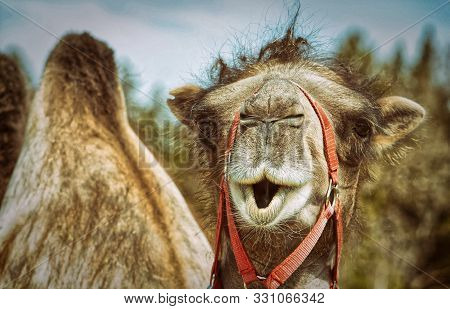 Portrait Of A Camel Close-up. Funny Picture Of A Camel.