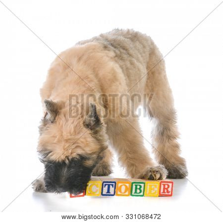bouvier des flandres puppy standing behind wooden block letters that say the word October