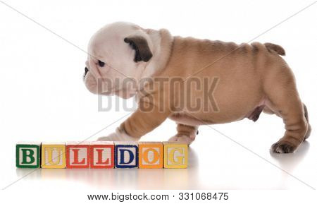 male English bulldog puppy walking past wooden block letters that say bulldog