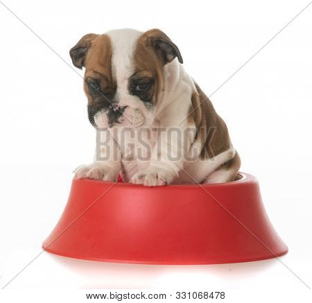 English bulldog puppy inside a red dog food bowl isolated on white background