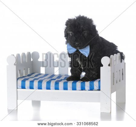 8 week old male bouvier des flandres puppy isolated on white background
