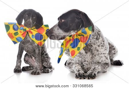 adult and puppy German shorthair pointers wearing clown costumes