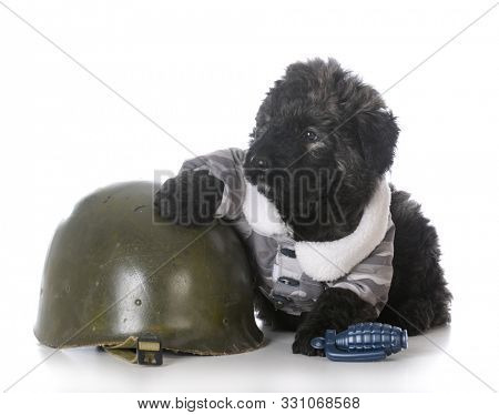 8 week old male bouvier des flandres puppy dressed up like a soldier