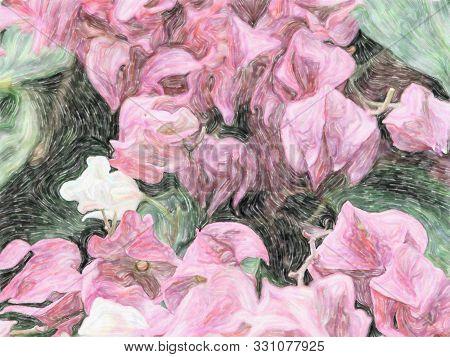 Pink Flower Of Bleeding Heart Vine, Also Called Bleeding Glory-bower In Africa. Clerodendrum Thomson