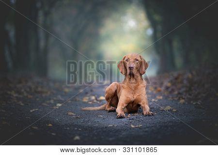 Hungarian Hound Vizsla Dog In Autumn Forrest
