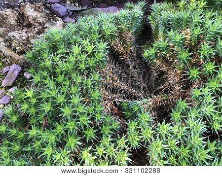Abromeitiella Brevifolia (griseb.) A.castell. Or Deuterocohnia Brevifolia (griseb.) M.a.spencer & L.