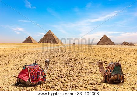 Camels At The Foot Of The Giza Pyramids, Cairo, Egypt