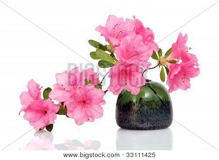 Pink Azalea On White