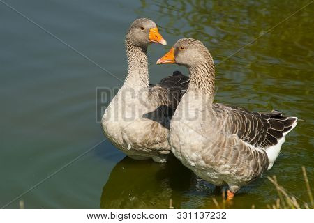 Gray Geese In The Water. A Pair Of Greylag Geese Stand In The Water Near The Shore Of The Pond