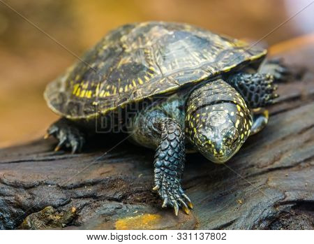 Closeup Portrait Of A European Pond Turtle, Tropical Reptile Specie From Europe, Near Threatened Ani