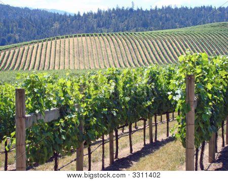 Attractive Vineyard In Northern California