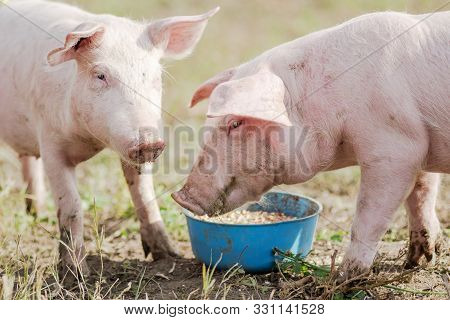 Feeding Two Pigs, Two Pigs Are Eating Outdoors, Swine Breeding And Agriculture.