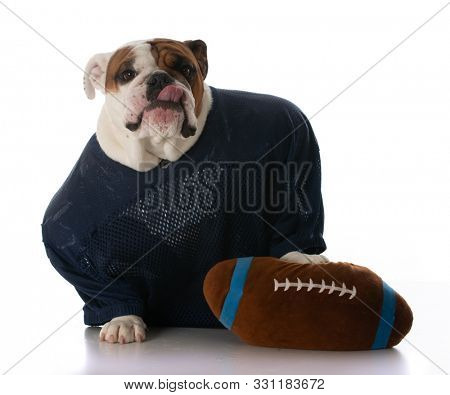 male English bulldog dressed up as a football player with a stuffed ball isolated on white background