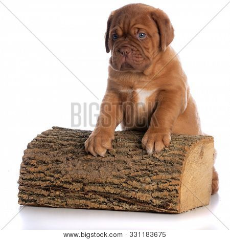 dogue de bordeaux puppy with front paws on a cut piece of log isolated on white background