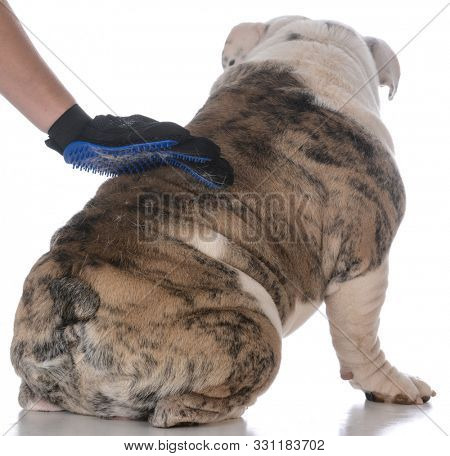 female hand with a grooming glove brushing the back of an English bulldog isolated on white background