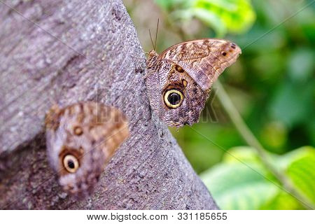 Two Butterflies On A Tree Trunk Mimicking The Eye