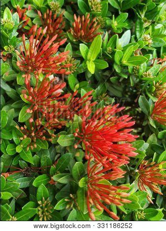Image Of Ashoka Flowers. The Latin Name Is Saraca Indica. Ashoka Is A Plant That Is Usually Consider