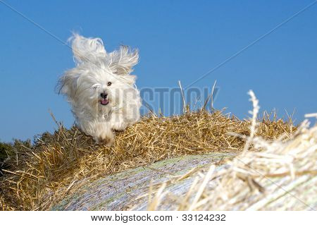 Dog racing finished on straw bales