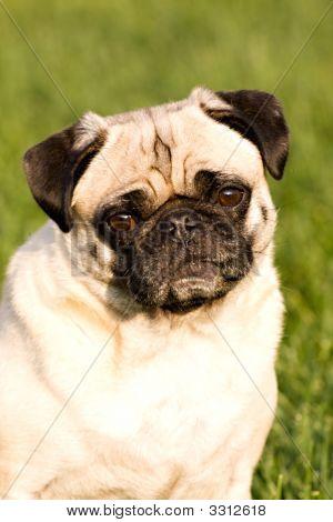 A Beautiful Pug Dog