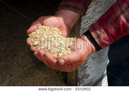 Oats In Farmers Hands