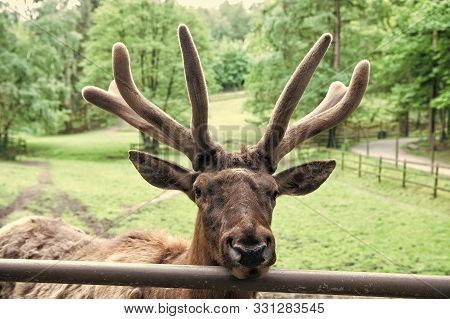 Keep The Beauty Alive. Reindeer Caribou. Reindeer Or Deer On Natural Landscape. Reindeer Species Wit