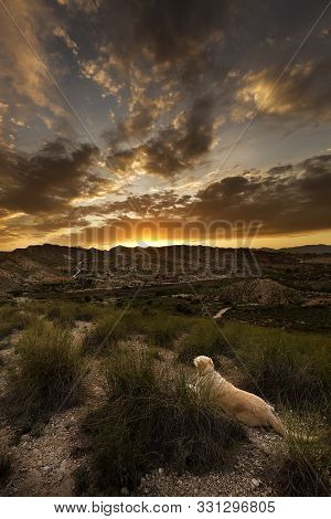 Golden Retriever Watching A Sunset In Monforte Del Cid, Province Of Alicante, Spain.
