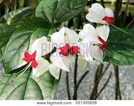 Bleeding Glory-bower (clerodendrum Thomsoniae), Terms Like Glory-bower, Bagflower, Bleeding-heart Vi