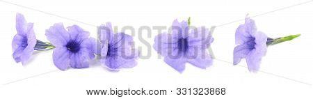 Fresh Purple Ruellia Tuberosa, Minnieroot, Fever Root, Snapdragon Root Or Sheep Potato Flowers Isola