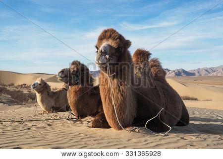 Camel On A Desert