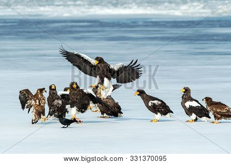 Flock Of Steller's Sea Eagles And White-tailed Eagles Fighting Over Fish On Frozen Lake, Hokkaido, J