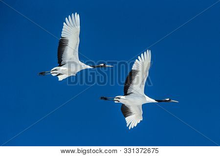 Red Crowned Cranes (grus Japonensis) In Flight With Outstretched Wings Against Blue Sky, Winter, Hok