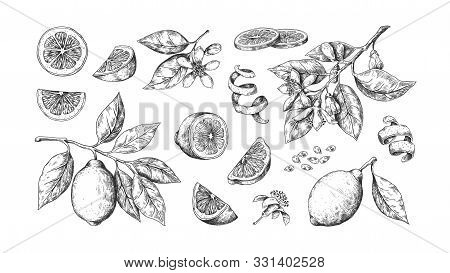 Hand Drawn Lemon. Vintage Lime Orange Or Lemon Fruits Blossom And Branches For Juice Label. Vector B