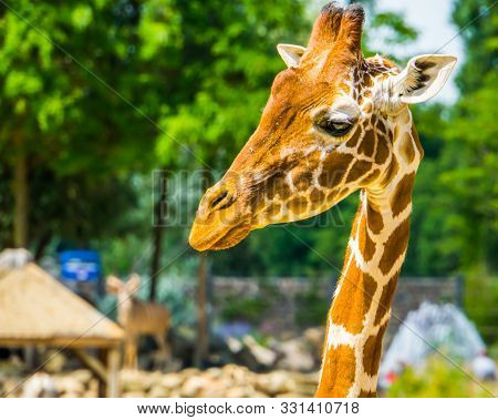 poster of closeup of the face of a reticulated giraffe, popular zoo animal, Endangered specie from Africa