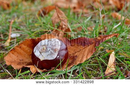 Fruit Horse Chestnut (aesculus Hippocastanum), South Bohemia, Czech Republic