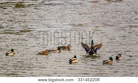 In A River, A Flock Of Mallard Ducks Is Swimming As A Single Male Sits Upright In The Water, Flappin