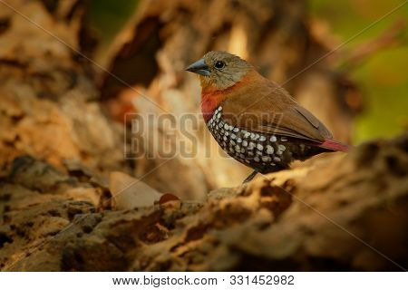 Red-throated Twinspot - Hypargos Niveoguttatus Common Species Of Bird Found In Sub-saharan Africa, R